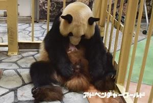 アドベンチャーワールド、9月18日生まれのジャイアントパンダの赤ちゃんを10月1日から一般公開&名前募集、これまでの成長過程を動画で公開