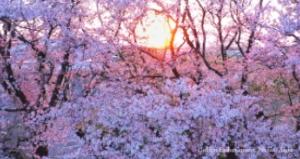 3月27日(土)オンライン花見の日|2021年の桜をYoutubeでリアルタイム生配信